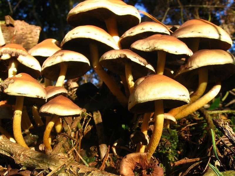 Psychedelic mushrooms