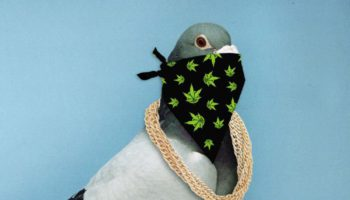 Busted! Drug smuggling pigeon caught with Ecstasy Pills