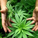 UCT launches a Marijuana survey
