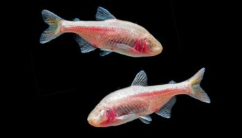 A sleepless fish study may help us stay up all night