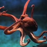 Scientists gave an Octopus MDMA yielding adorable results