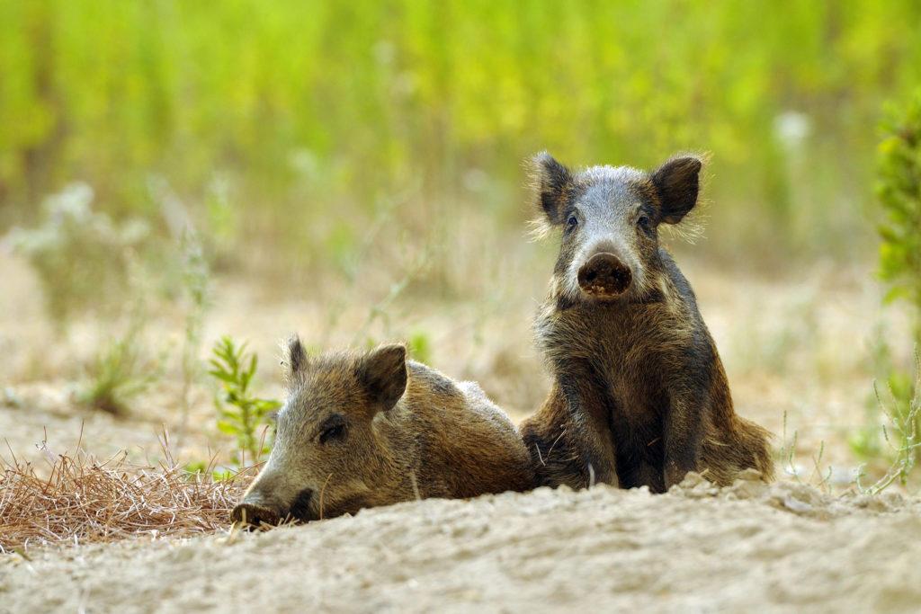 Feral Hogs ravage cocaine
