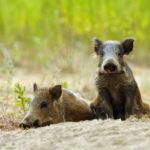 Feral Hogs ravage cocaine stash worth $22,000